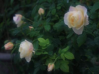 rose3012