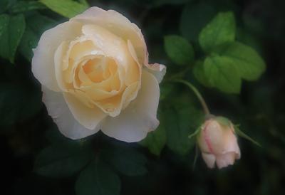 rose3013