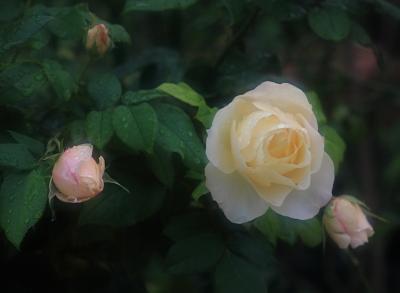 rose3014