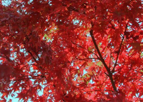 紅葉もみじs