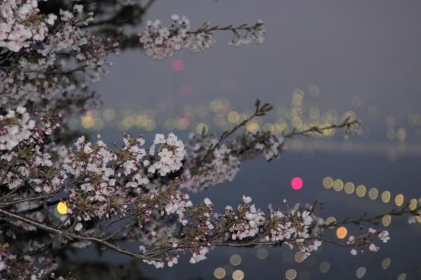 IMG_1330フラッシュ桜1s