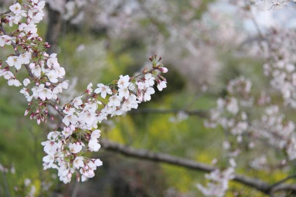 IMG_1344桜s