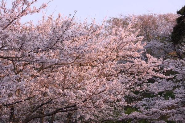 IMG_1378桜as