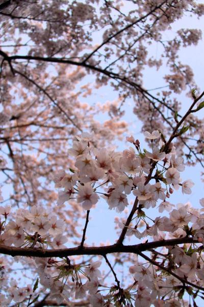 IMG_1369桜s