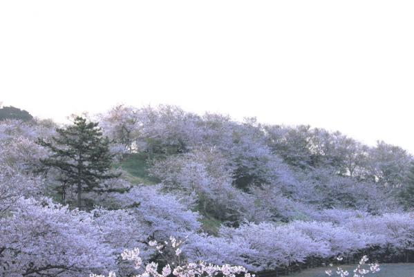 IMG_1375s桜風景s