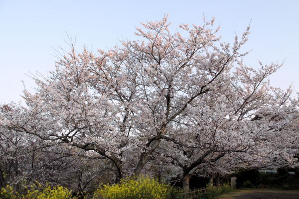 IMG_1377桜s