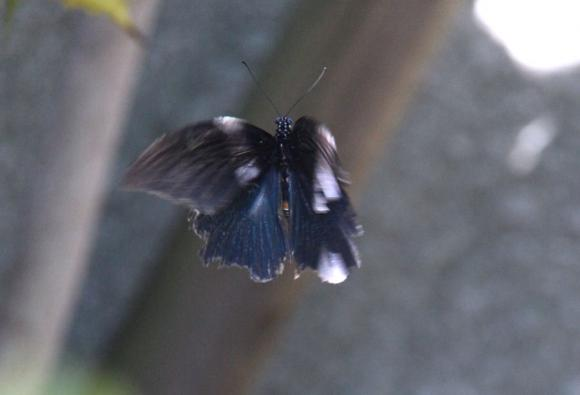 IMG_3599黒いアゲハ