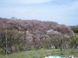 根岸桜終わりね