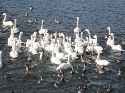 120204白鳥6