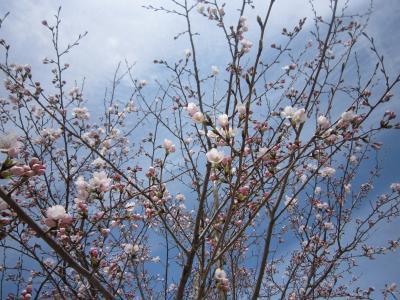 120412桜3