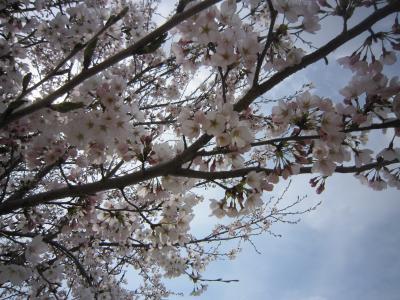 120415桜1
