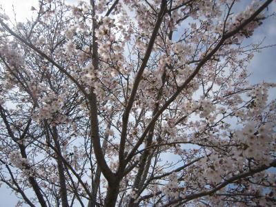 120415桜2