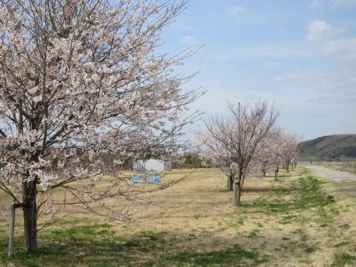 120415桜3