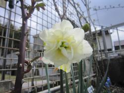 120419春の花4