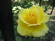120526薔薇1