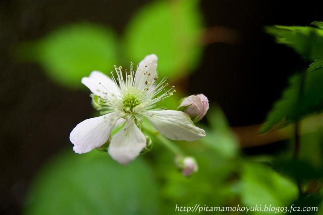 ブラックベリーの花110603_1