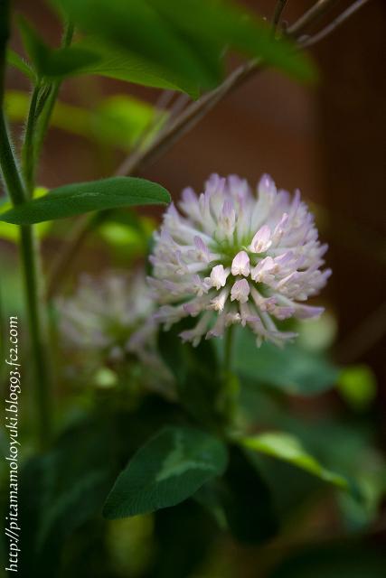 クローバーの花110605_1