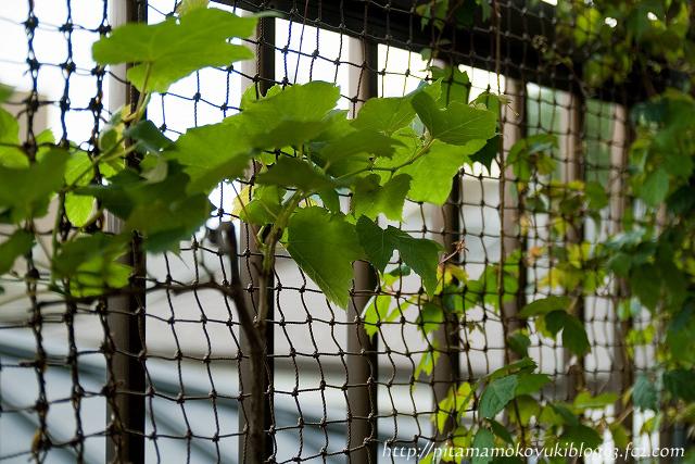 ブドウの木&ナツヅタ110618_1