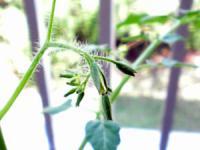 トマトのつぼみ2