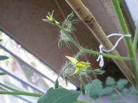 トマトの花3