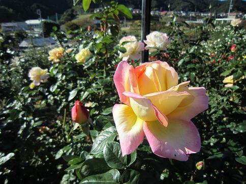 秋のバラ3