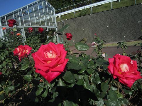 秋のバラ6
