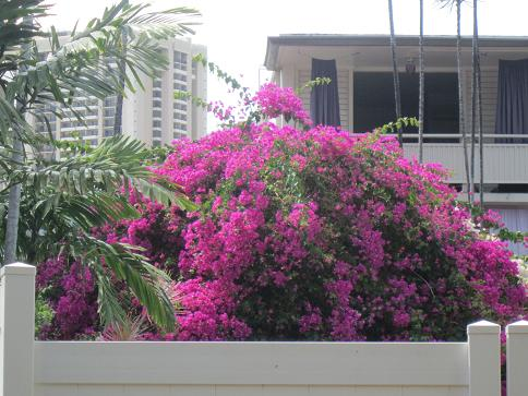 ハワイのブーゲンビリア