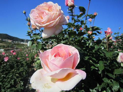 秋のバラ5