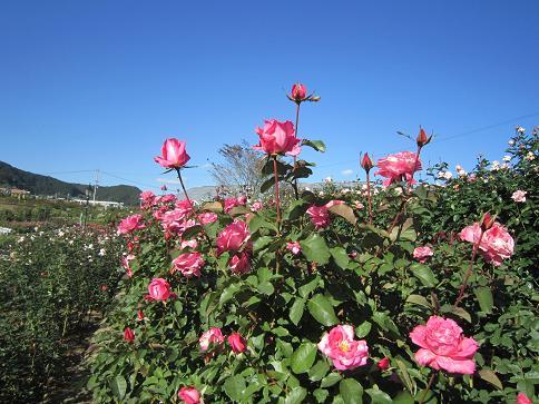 秋のバラ7