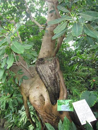 恐ろしい木