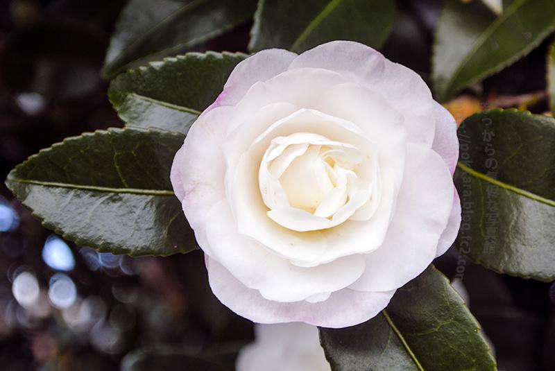 12_14白い山茶花