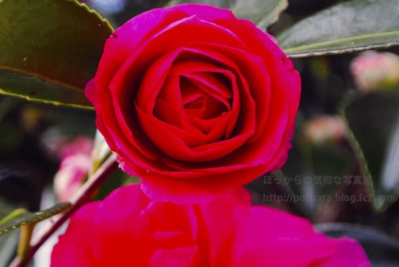 12_14紅い山茶花