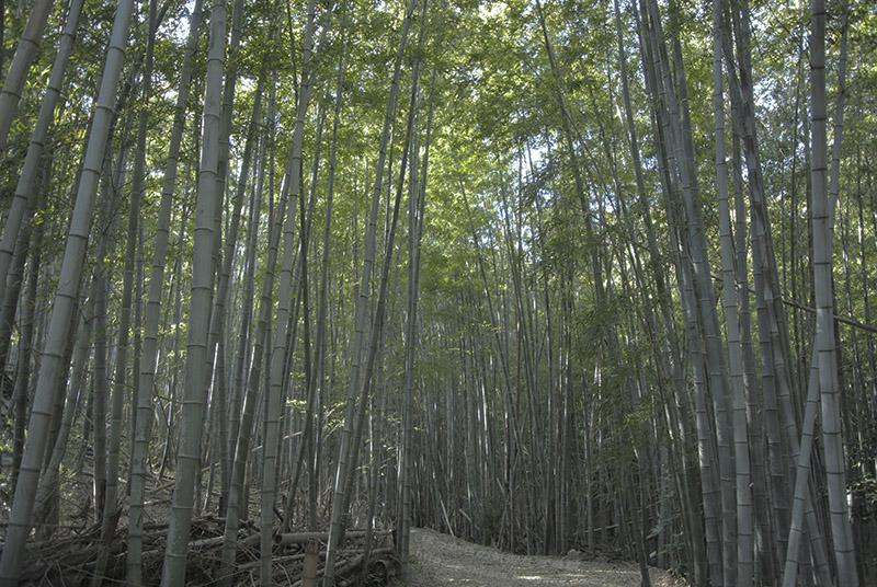 岡山:孟宗竹林
