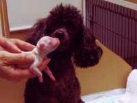 トイプードル・モミジちゃんと子犬