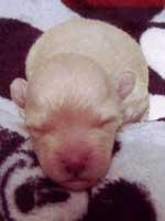 トイプードル・モミジちゃんの子犬の様子05