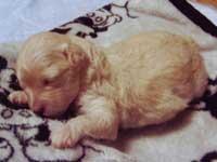トイプードル・モミジちゃんの子犬の様子10