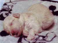 トイプードル・モミジちゃんの子犬の様子12