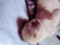トイプードル・モミジちゃんの子犬の様子13