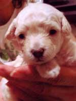 トイプードル・モミジちゃんの子犬の様子14
