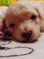 トイプードル・モミジちゃんの子犬の様子15