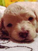 トイプードル・モミジちゃんの子犬の様子16