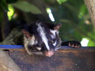 ハクビシン,白鼻芯,果子狸,Masked Palm Civet