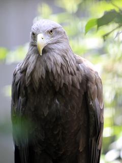 おおわし,オオワシ,大鷲,Steller's sea eagle