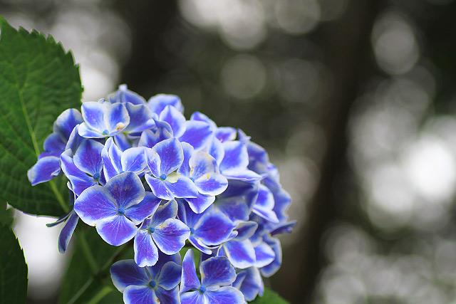 米子市 尾高 大神山神社 アジサイ 紫陽花