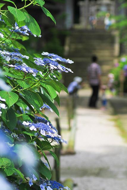 松江市 月照寺 アジサイ 紫陽花