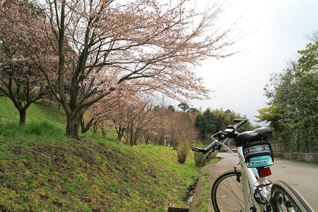 ビアンキ ポタリング 大山町 菜の花 桜