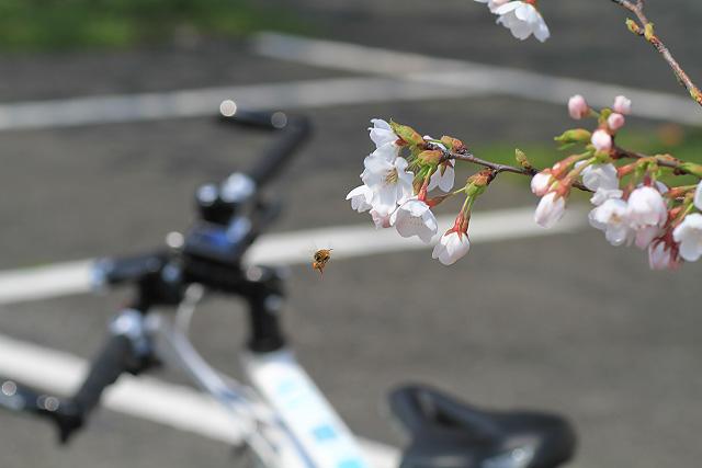 日吉神社 桜 ポタリング