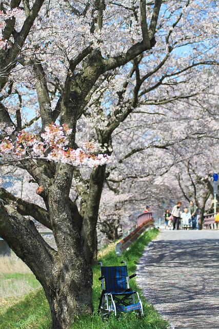 法勝寺川 桜並木