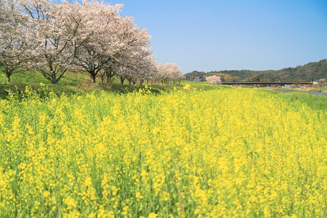 伯太川 土手 桜 菜の花