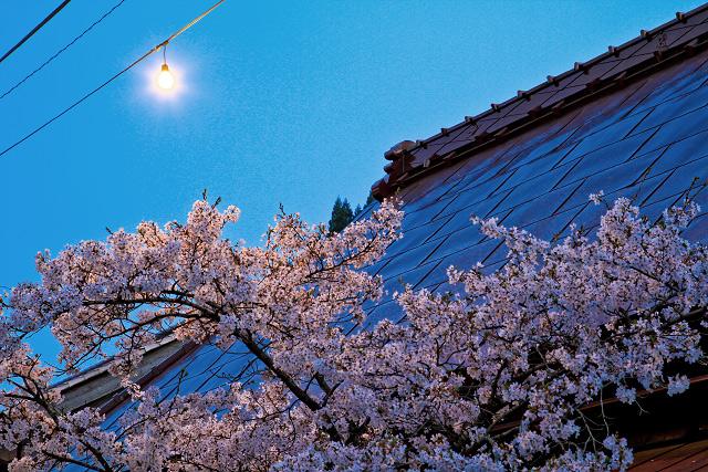 岡山県新庄村 がいせん桜